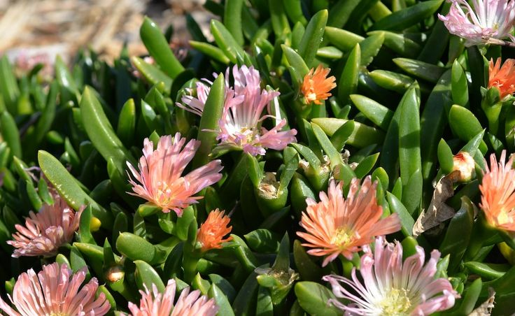 Plant profile: Disphyllum Sunpeach   The West Australian