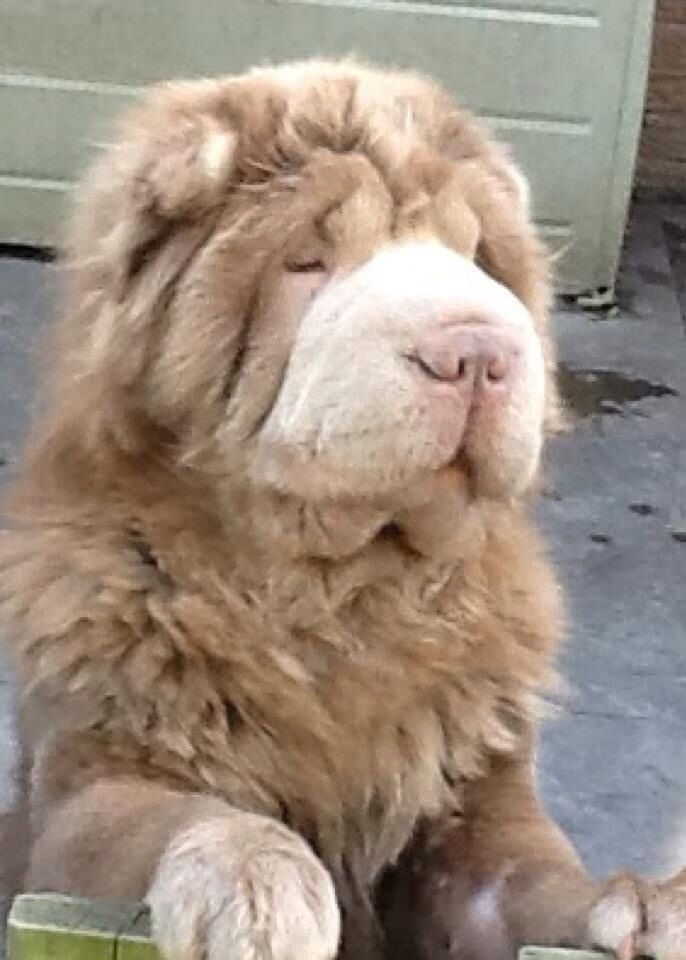 Leo Bearcoat Shar Pei Pinterest Puppies And