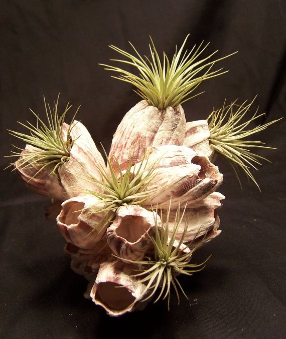 Air Plant stand Terrarium airplant display... Air Plants like the ones displayed are available at Jackalope!