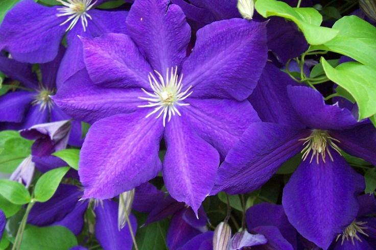 Purple Clematis Jackmanii In Bloom Pinterest