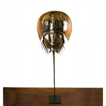 Interior & taxidermy. Horseshoe crab on pedestal / Degenkrab groot op standaard