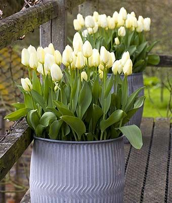 tulips in galvanized planters