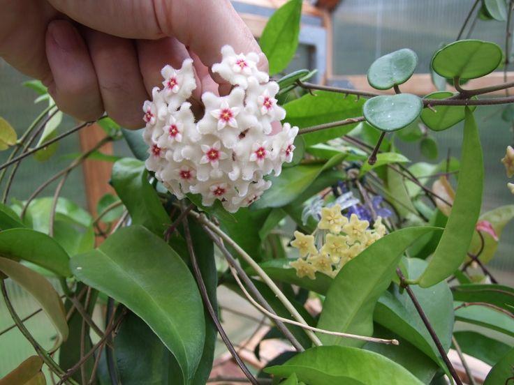 H. cv. mathilde | fragrant house plants | Pinterest | Plants ...