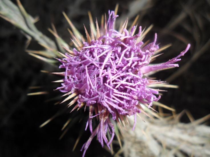 Cardus Marianum/Silybum Marianum  with its amazing violet #flower with thornes