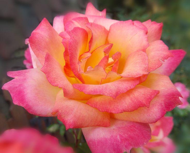 Pink Orange Yellow Knock-out Rose