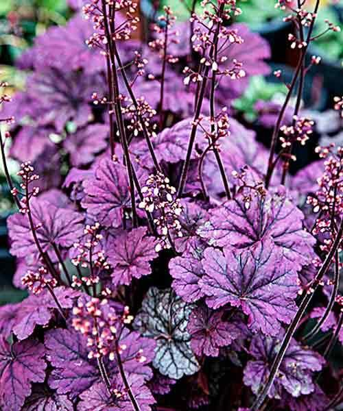 For a brilliant splash of purple, consider 'Sugar Plum' Coral Bells (Heuchera). Grows in zones 3-8.   Photo: Josh Mccullough/PhytoPhoto   thisoldhouse.com