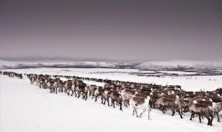 'Reindeer migration, Sacred Mountain, Lapland,Northern Sweden.' von glphoto bei artflakes.com als Poster oder Kunstdruck $16.63