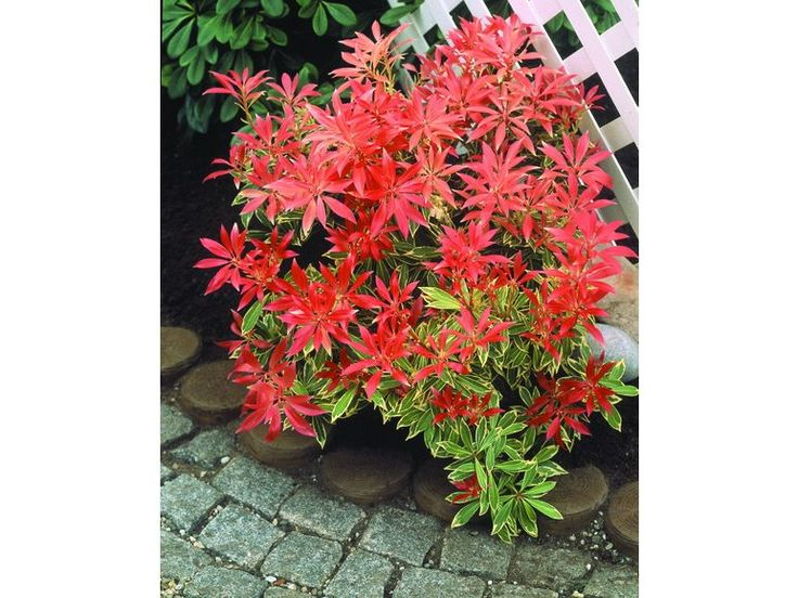 Japanische Lavendelheide Feuertanz®, 1 Pflanze 1