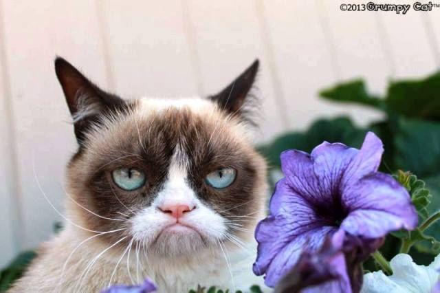 """""""Grumpy cat"""", il """"Gatto scontroso"""" 80 MILIONI DI DOLLARI ALLA PROPRIETARIA/VIDEO"""