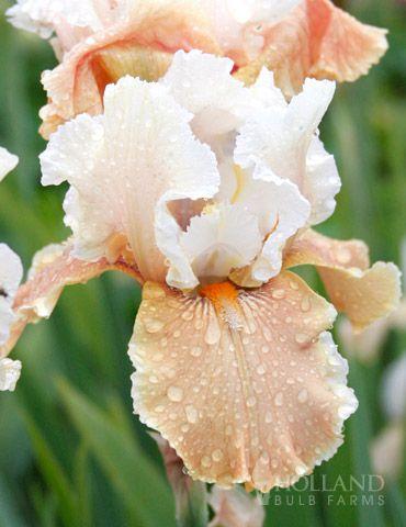 best  bearded iris ideas on   iris, iris flowers and, Beautiful flower