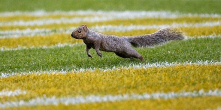 Everyone Loves the Lambeau Field Squirrel -- No one loves the Green Bay Packers right now, but everyone loves the Lambeau Field squirrel. It has spawned many memes. Here are the best ones.