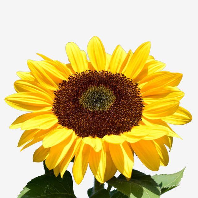 Grande Girassol Girassol Jardim Flor Imagem Png E Psd Para Download Gratuito Girassol Amarelo Girassol Flores Do Sol