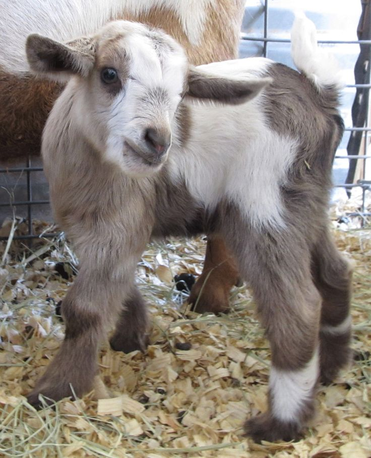 778 Best Goat Farm Images On Pinterest: 325 Best Images About Baby Goats On Pinterest