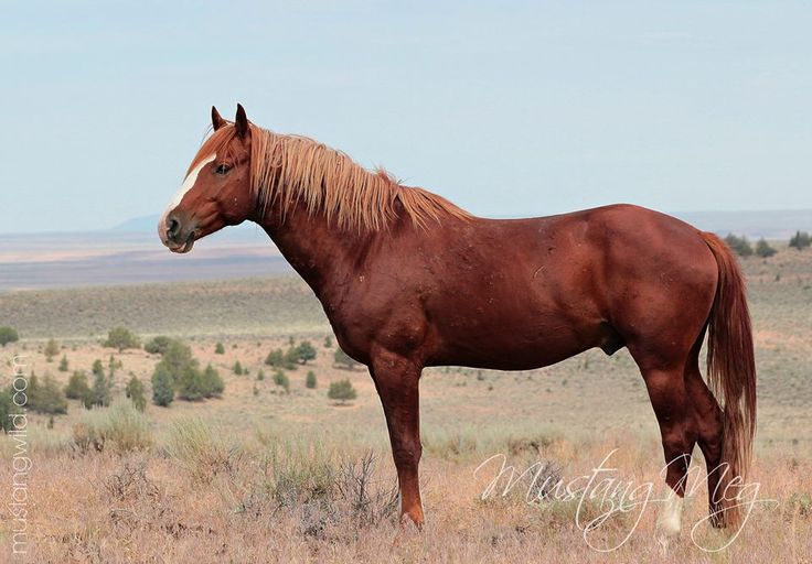 "Oregon Mustang stallion called  ""Red Vogue"".....he is stunning"