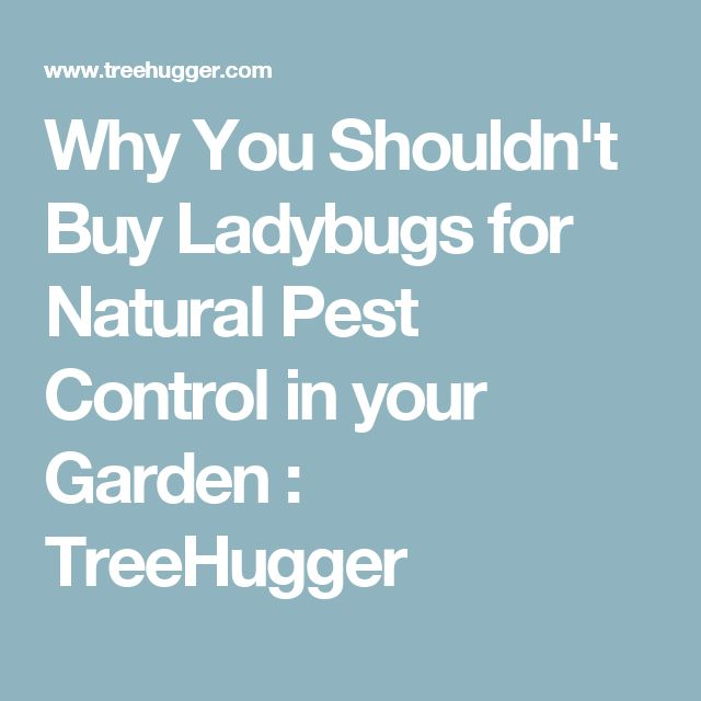 Why You Shouldn't Buy Ladybugs for Natural Pest Control in your Garden : TreeHugger