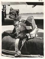 "WWII ""Miss Geronimo"" Puppy Mascot of Camp Mackall Paratroopers Press Photo"