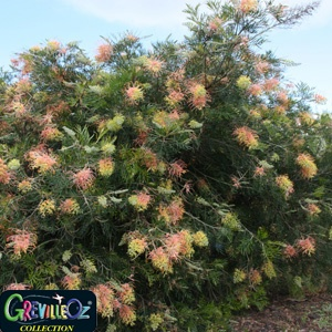 Grevillea 'Peaches and Cream' p.p. (Grevillea hybrid)