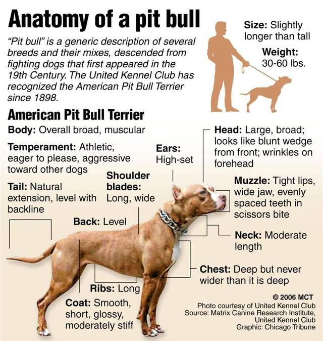 Image Result For Pitbull Anatomy American Pitbull Terrier