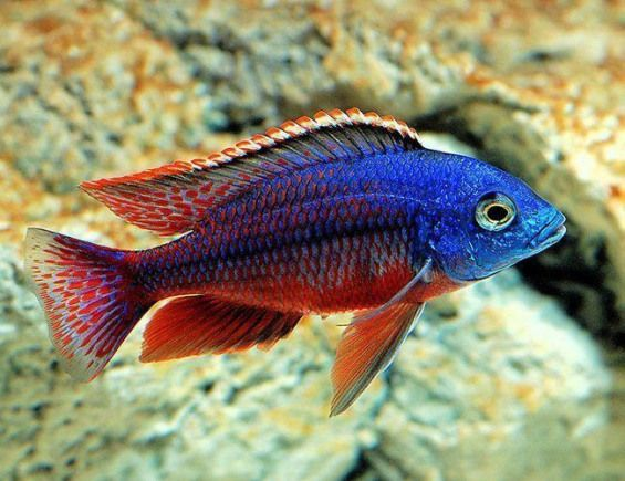 Red Empress East African Cichlid Aquarium Fish Freshwaterfish Freshwater Fish African Cichlid Aquarium Cichlid Aquarium African Cichlids