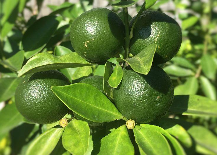 how to grow calamansi seeds