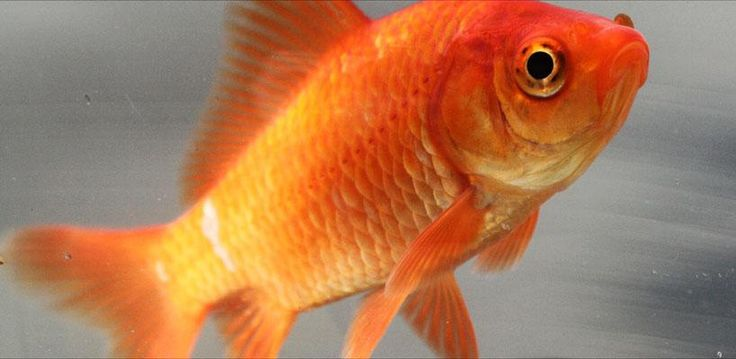 Goldfish Now Have Longer Attention Span Than Humans... - 7dayshop Blog
