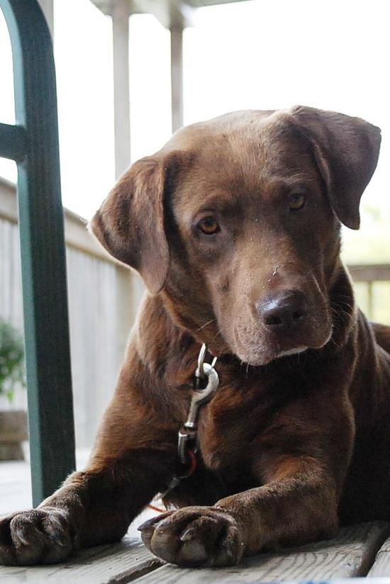 I had the question about a long haired chocolate lab? i found a pic similar?