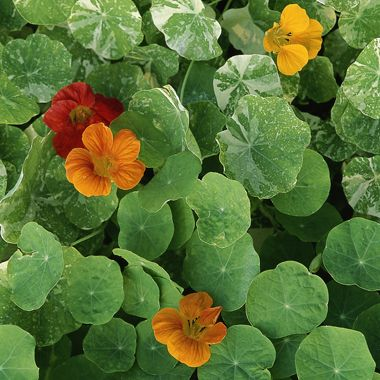 The Best Edible Flowers: Organic Gardening