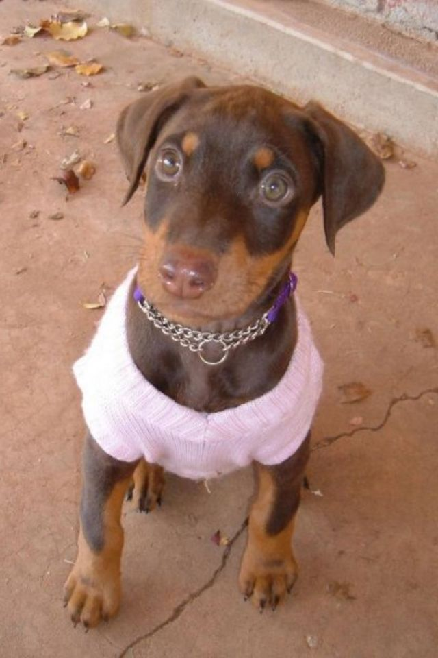 Doberman Puppies For Sale North West South Africa