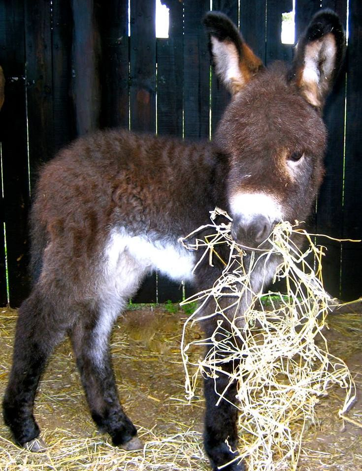 Image result for mini donkeys eating hay