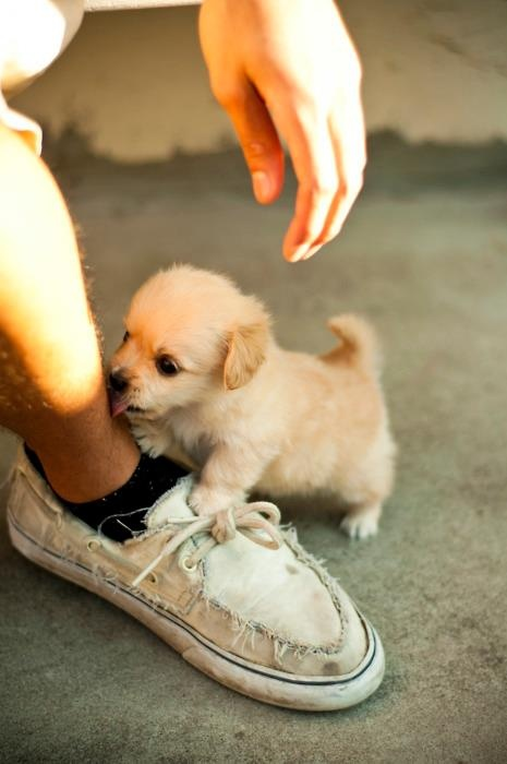 I need this in my life right now: Kiss, Dogs, Little Puppies, So Cute, Pet, Tiny Puppies, Socute, Animal, Golden Retriever
