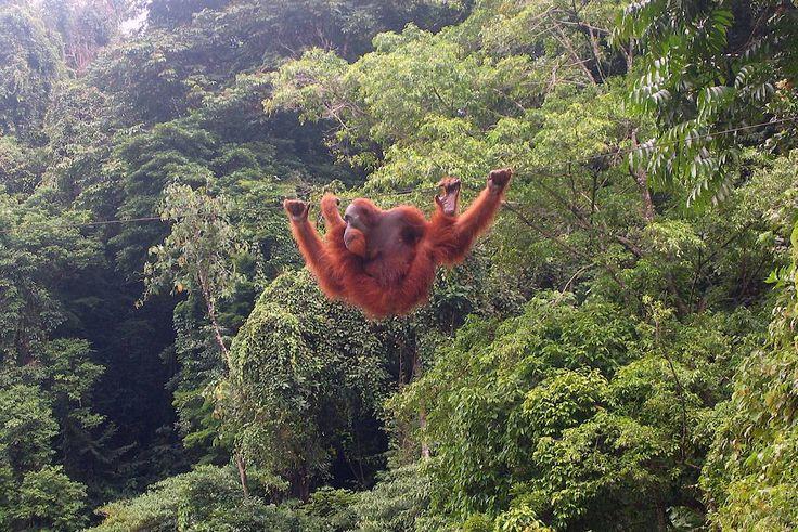 El aceite de palma está matando a las selvas tropicales, especies en peligro y la gente