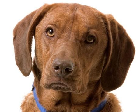 """Labrador Retriever version of """"McGruff"""""""