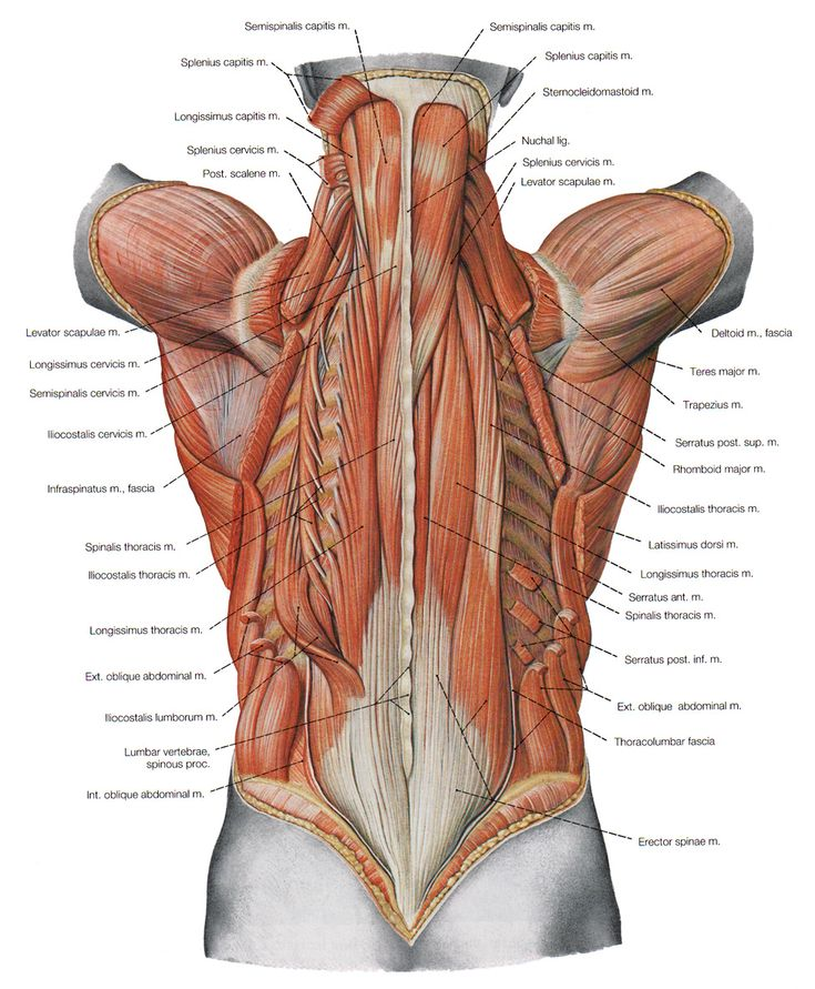 the deeper muscles of the back