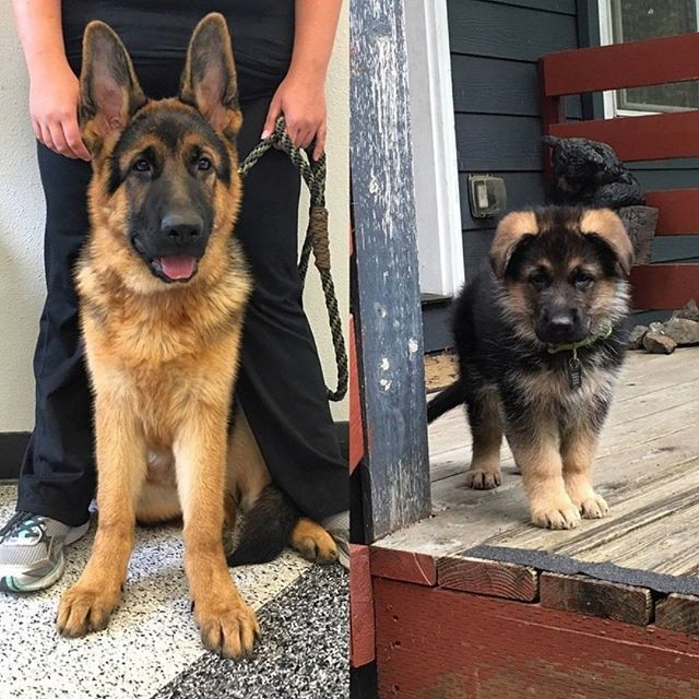 Look How Fast They Grow 2 Months Vs 4 Months Triton Gsd