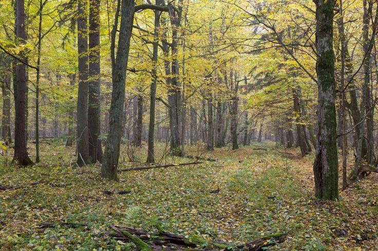 Bialowieza, Polen und Weißrussland  Die ehemaligen Jagdgründe der europäischen Könige und Zaren Russlands befinden sich im Bialowieza. Seit Anfang des 20. Jahrhunderts ist das Gebiet zum Nationalpark erklärt worden. Der 7.000 Jahre alte Wald bietet riesige Bäume wie Silberpappeln, Ahorn, Eichen, Pinien oder Rottannen. Wer nicht laufen möchte, kann den Wald mit Leihrädern erkunden.