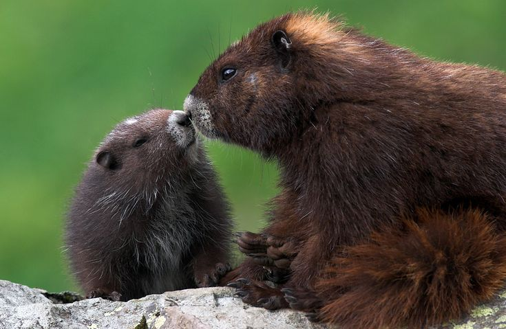Marmot Kiss by glimpses.ca: Found only in Canada, the Vancouver Island Marmot is a critically endangered species and has become a conservation symbol in British Columbia. It is easy to identify because of its chocolate brown coat with patches of white on its forehead, muzzle and chest. This photo was part of a beautiful series donated to marmots.org. #Marmot #Vancouver_Island #marmots_org #glimpses_ca
