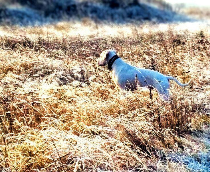 # dogoargentino #winter #grass
