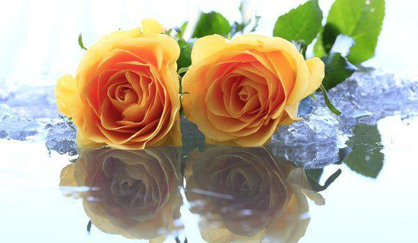 Обои на рабочий стол: вода, желтый, лед, розы, цветы