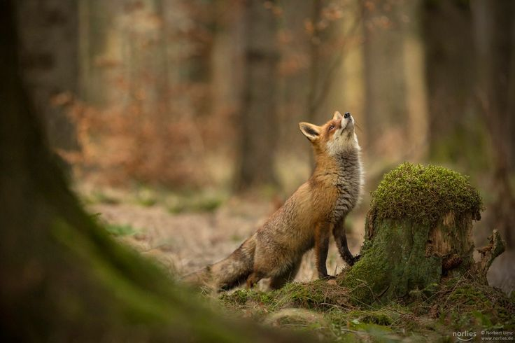 "dreamer - Fox in the forest. More pictures here: <a href=""http://www.facebook.com/norlies1"">facebook</a>"