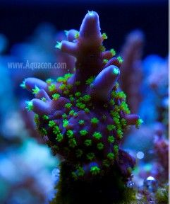 SPS hard coral (Montipora Digitata)