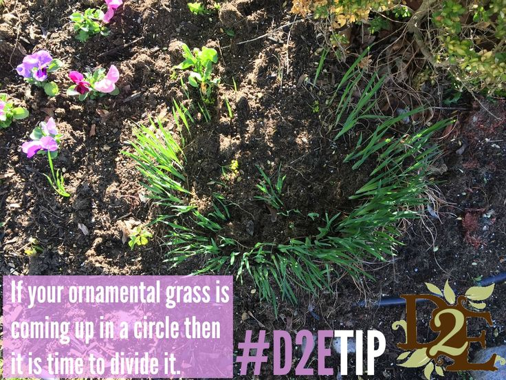 IS you ornamental grass coming up in a circle? Here's what to do!