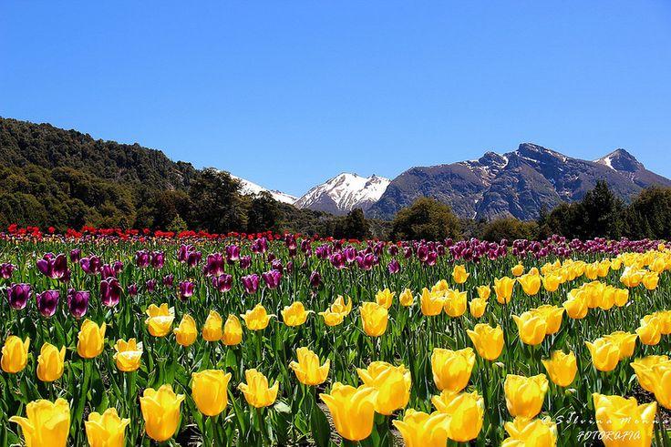 campo de tulipanes Bariloche