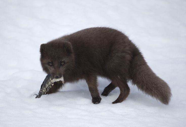 https://flic.kr/p/TDGQQP | Arctic fox. | Arctic fox with fish in the West Fjords, Iceland.