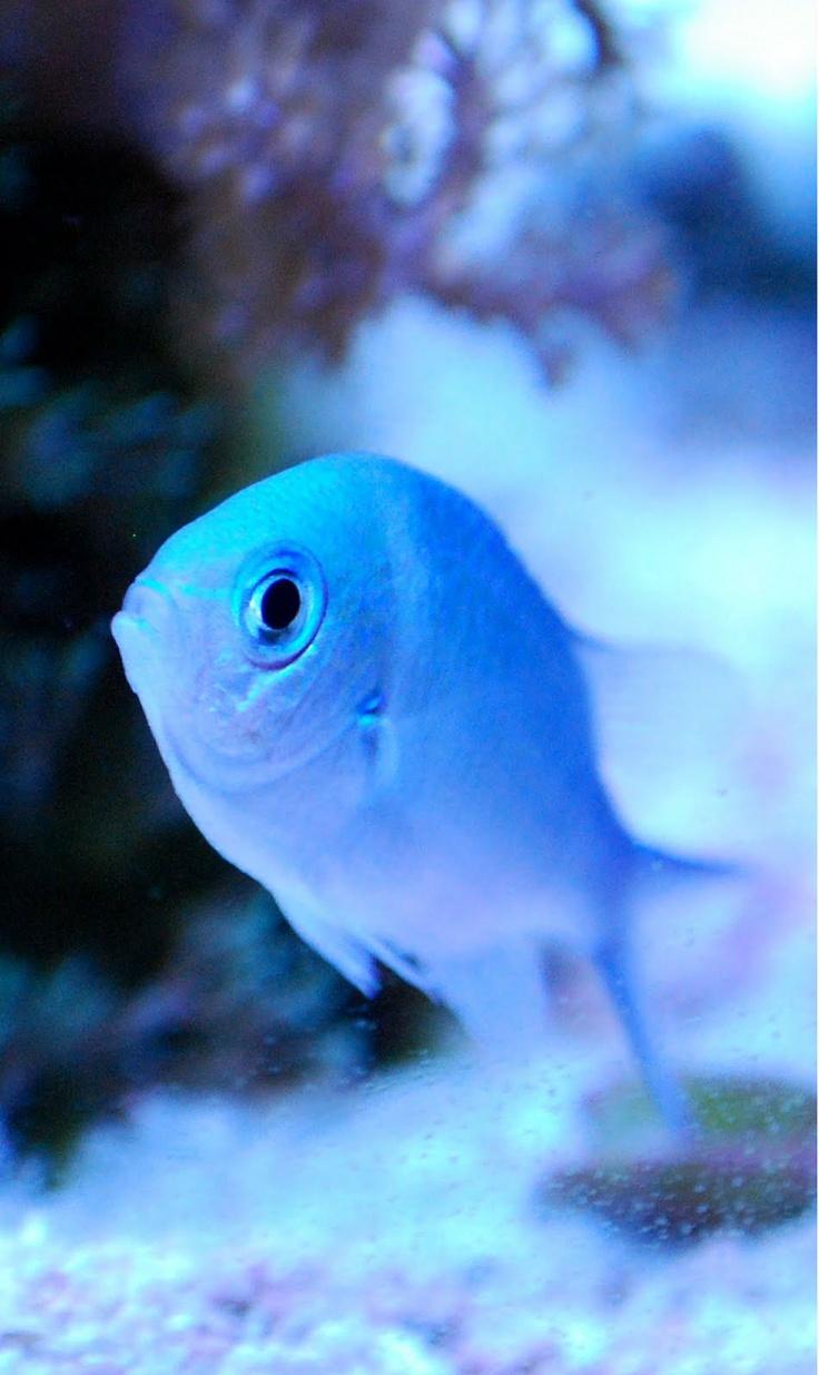 Blue Green Chromis #blue #fish #cute