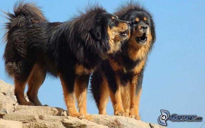 Tibet-Dogge cute dog ♥♥♥