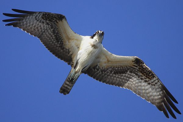 Soaring Seahawk.  There really is a bird called a Seahawk !