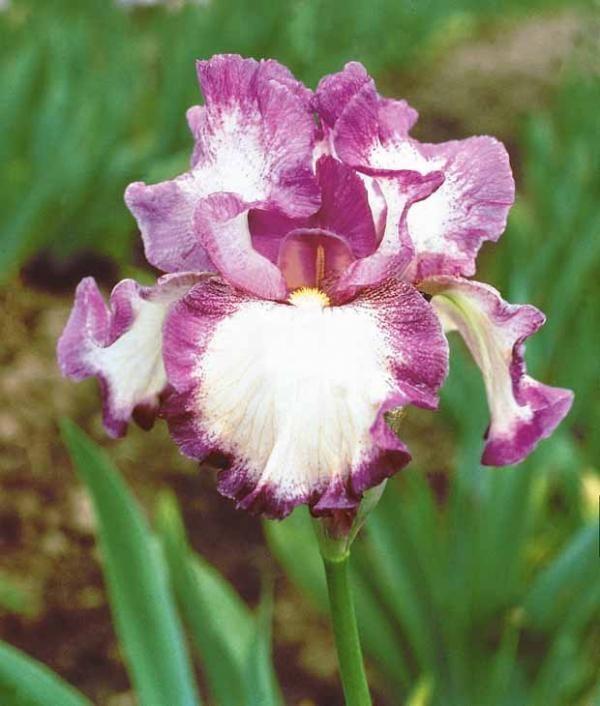 #Iris de jardin 'autumn encore' multicolore. Nouvelle variété qui #fleurit normalement en mai-juin et à nouveau en fin d'#été.
