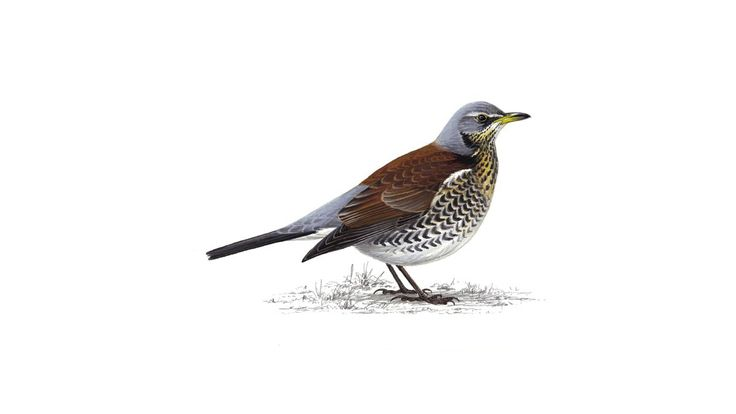 Fieldfares are large, colourful thrushes, much like a mistle thrush in general size, shape and behaviour. Find out more