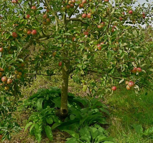 Comfrey:  use under fruit trees (deep roots mine minerals, feed leaves to critters and chop and mulch, make a compost tea to spray on orchard.