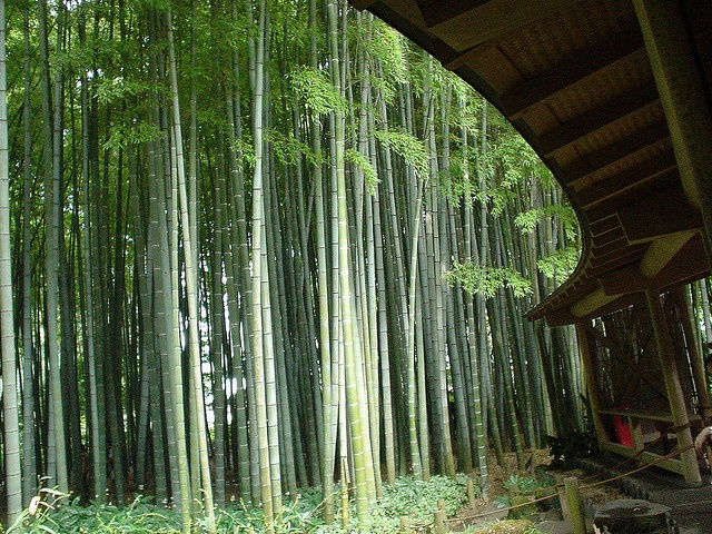In Kyoto I had garden grilled Bambooroot from the Bamboo forrest outside my window. That taste I still dream of. It was like entering heaven. I dream to try it again but I cannot find Bamboo root anywhere on the internet or here in Denmark. (Photo: Bamboo Garden at Hokokuji Temple in Kamakura, Japan)